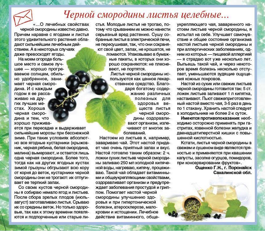 Польза и вред черной смородины