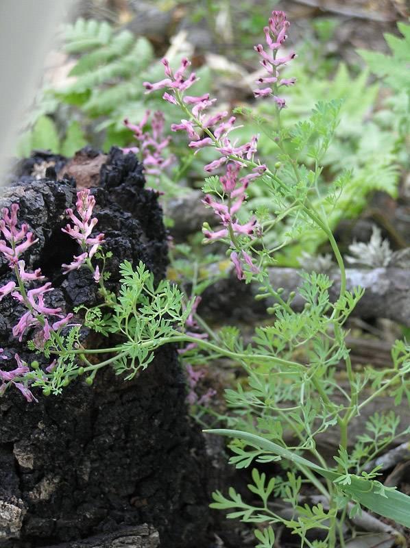Лечебные свойства травы синяк и ее применение в народной медицине