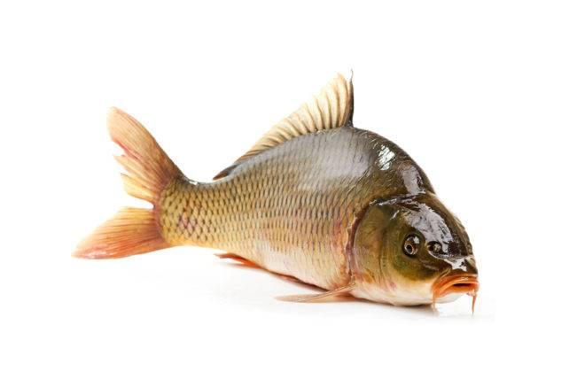 Что за рыба карп?