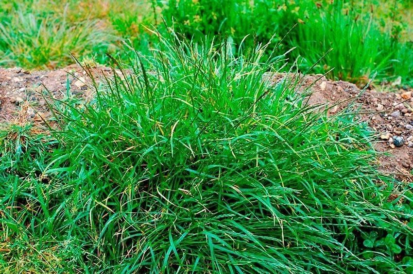 Трава ковыль: лечебные свойства
