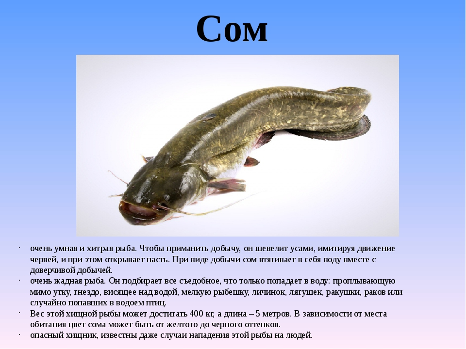 Рыба сом польза и вред