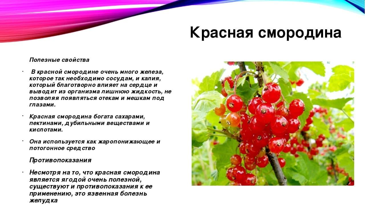Красная смородина: польза и вред для здоровья. чем ягодки помогут при беременности?