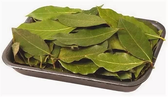 С окна в суп: как вырастить лавровый лист дома