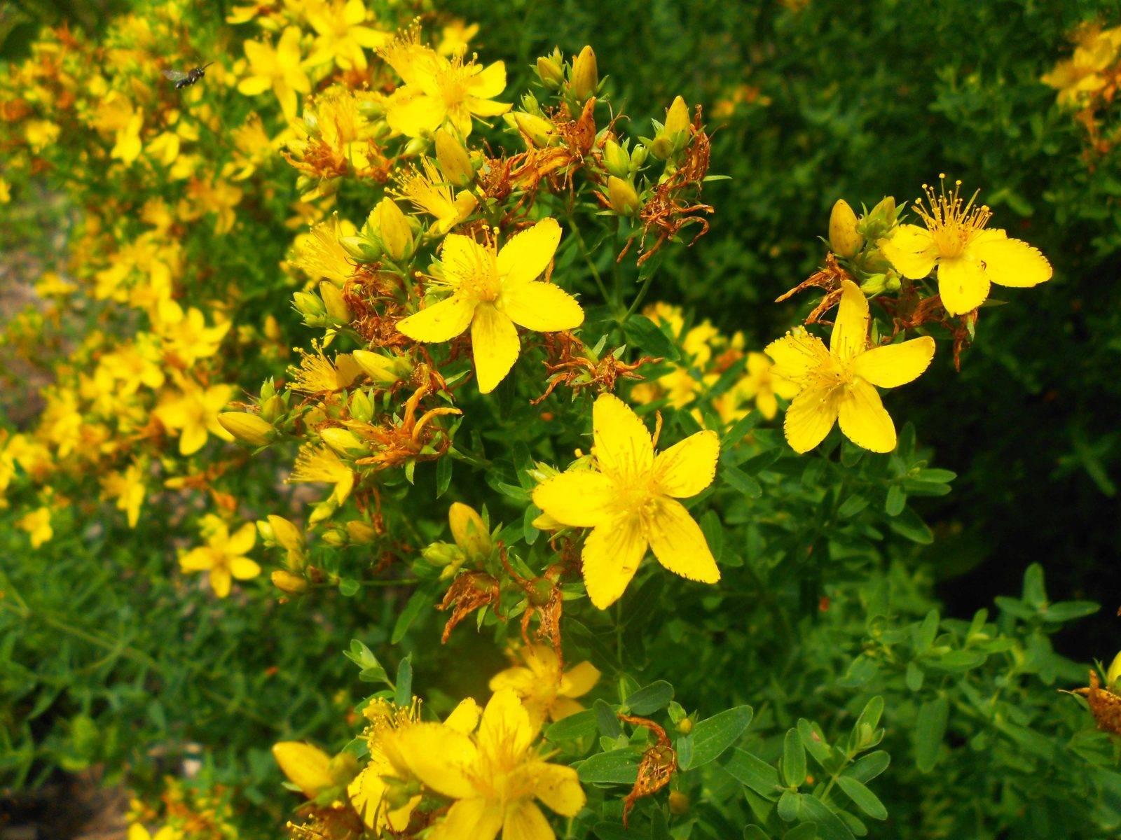 Зверобой: фото, полезные и лечебные свойства, противопоказания лекарственной травы