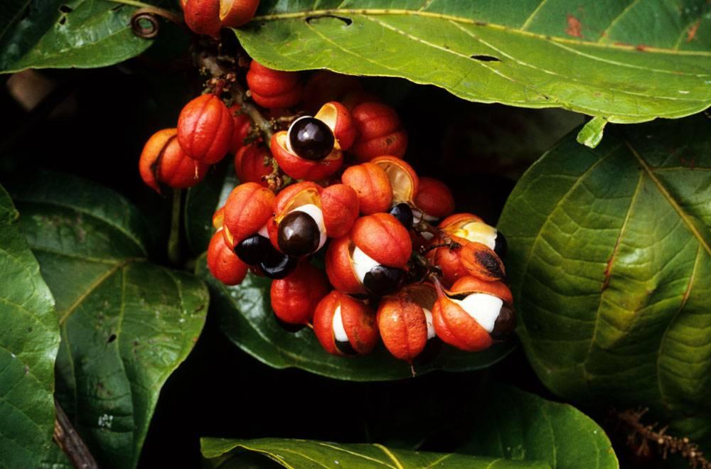 Гуарана что за растение в чем польза и вред
