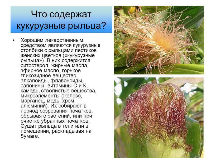 Кукурузные рыльца: польза и вред, инструкция по применению