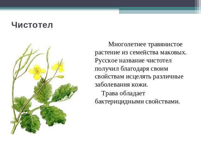 Чистотел. свойства. применение. лечение. противопоказания