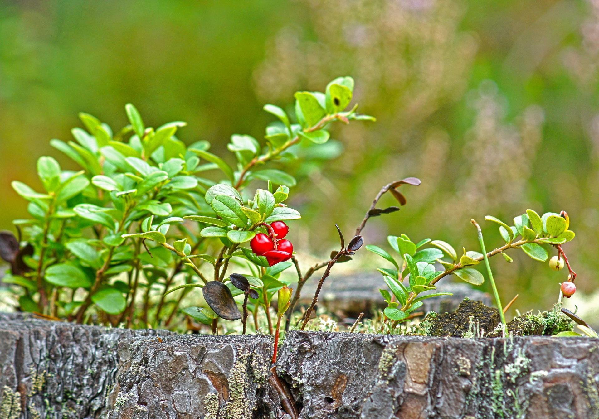 Лечебные свойства брусничных листьев