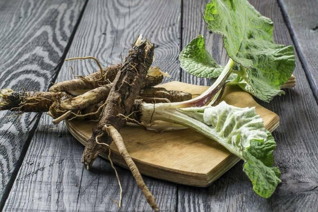 Полезные свойства корня лопуха и противопоказания