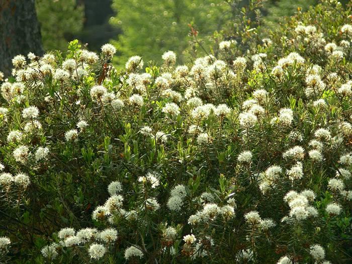 Использование багульника болотного: лечебные свойства и противопоказания