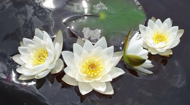 Аквариумное растение кувшинка
