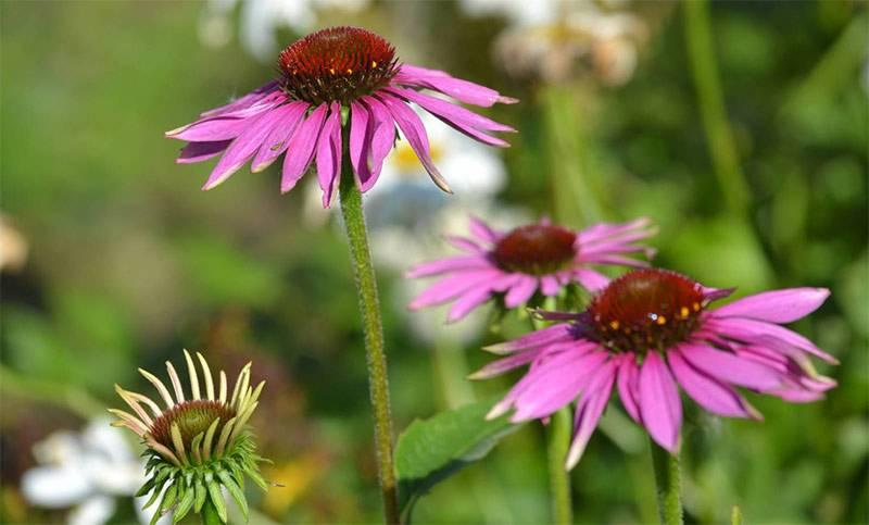 Эхинацея: полезные и вредные свойства для организма, состав