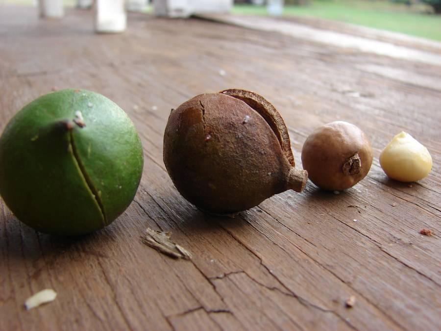 Орех макадамия: польза и вред для организма мужчин и женщин