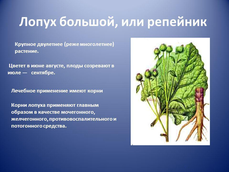 Корни и листья лопуха (лат. arctium) – целебные свойства и правила применения