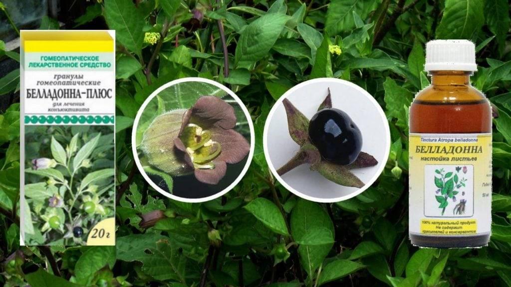 Беладонна, или красавка обыкновенная, в медицине