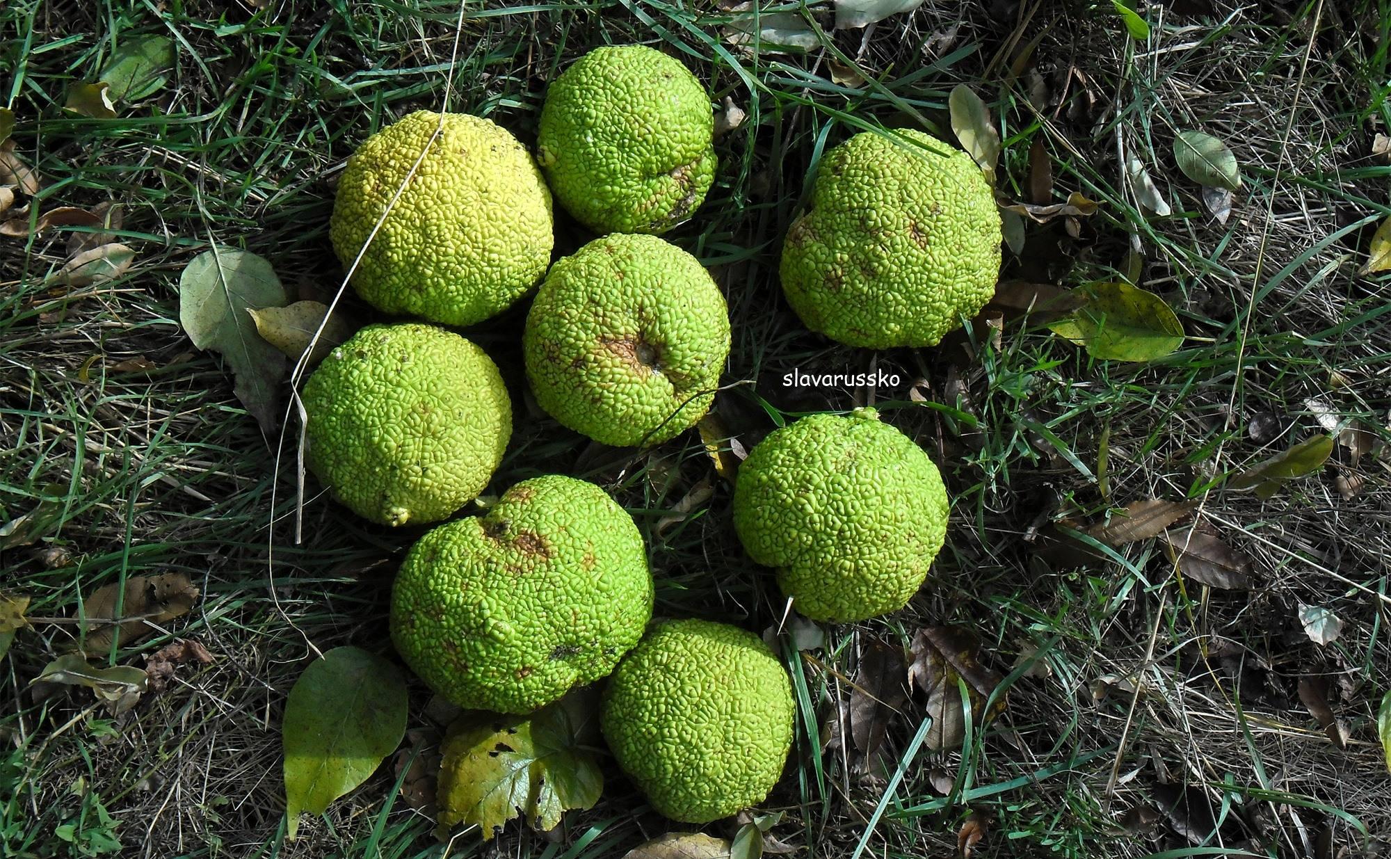 Приготовление и применение настойки адамово яблока (маклюры)