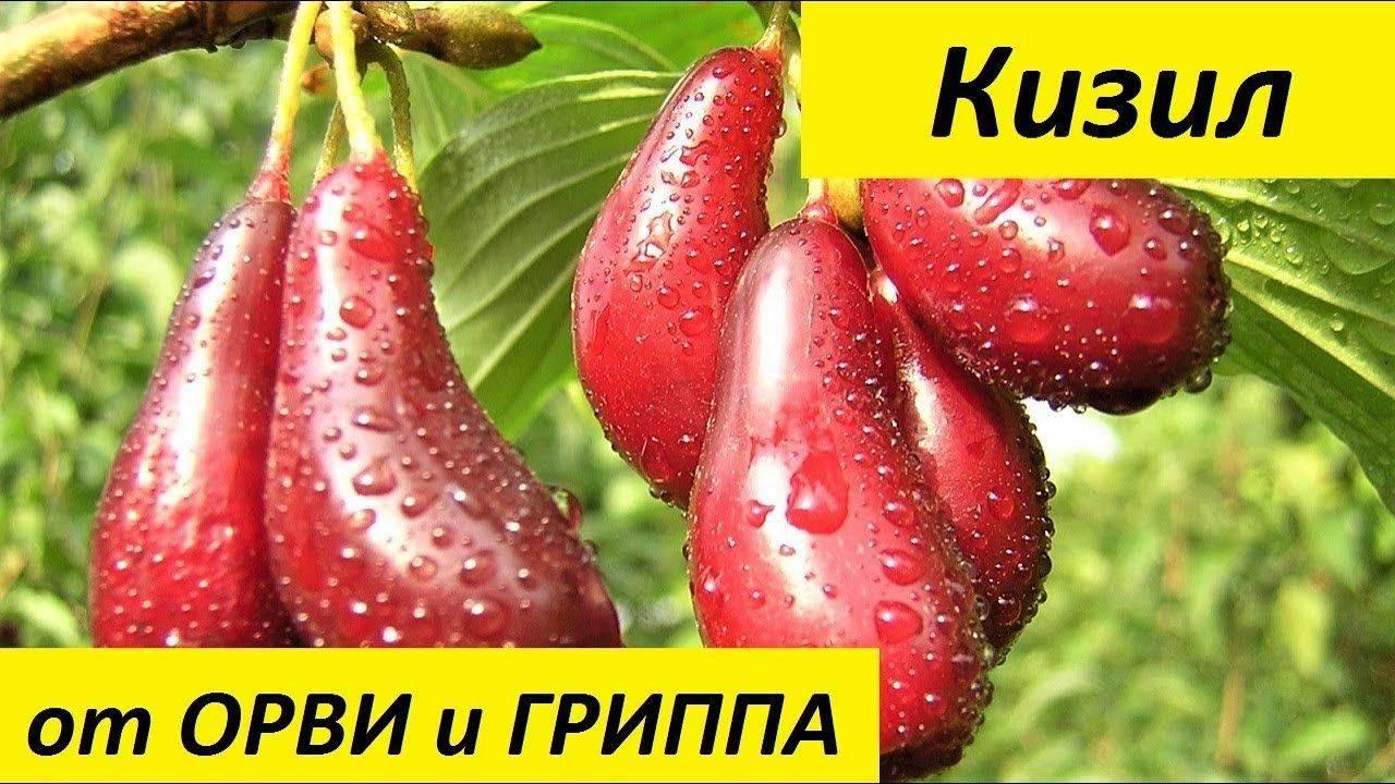 Кизил: полезные свойства, противопоказания, польза и вред