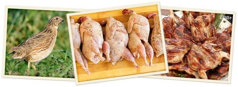 Мясо перепелов: польза и вред для организма человека. состав, применение