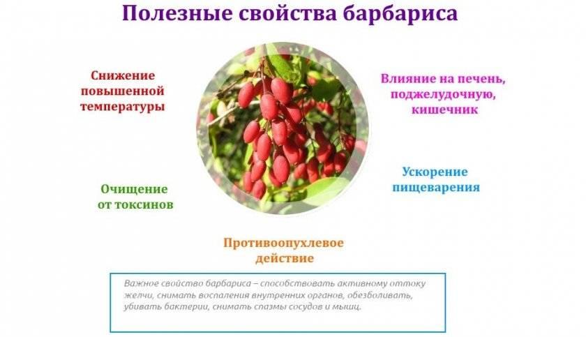 Барбарис польза и вред для здоровья человека