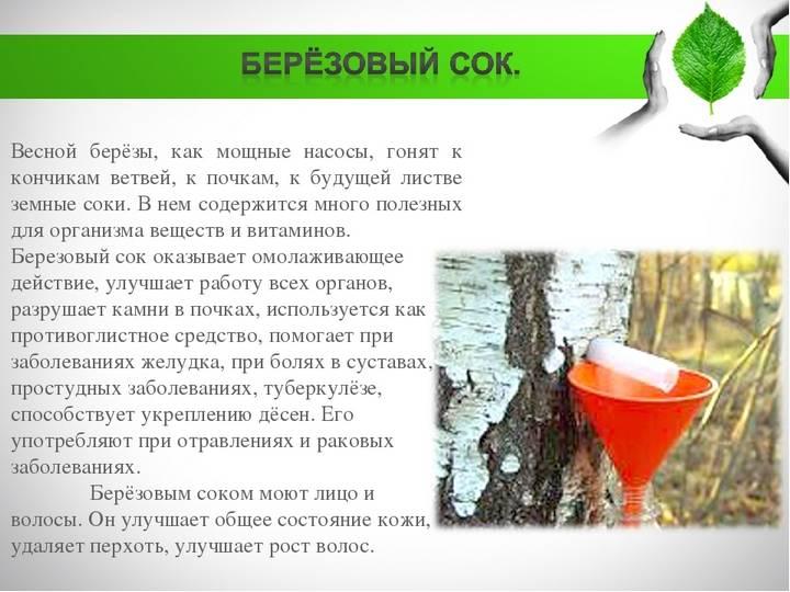Берёзовый сок, польза и вред, сколько можно пить в день