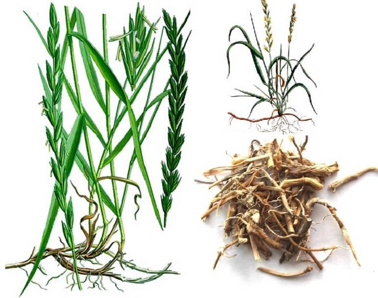 Лечебные свойства травы пырей и противопоказания