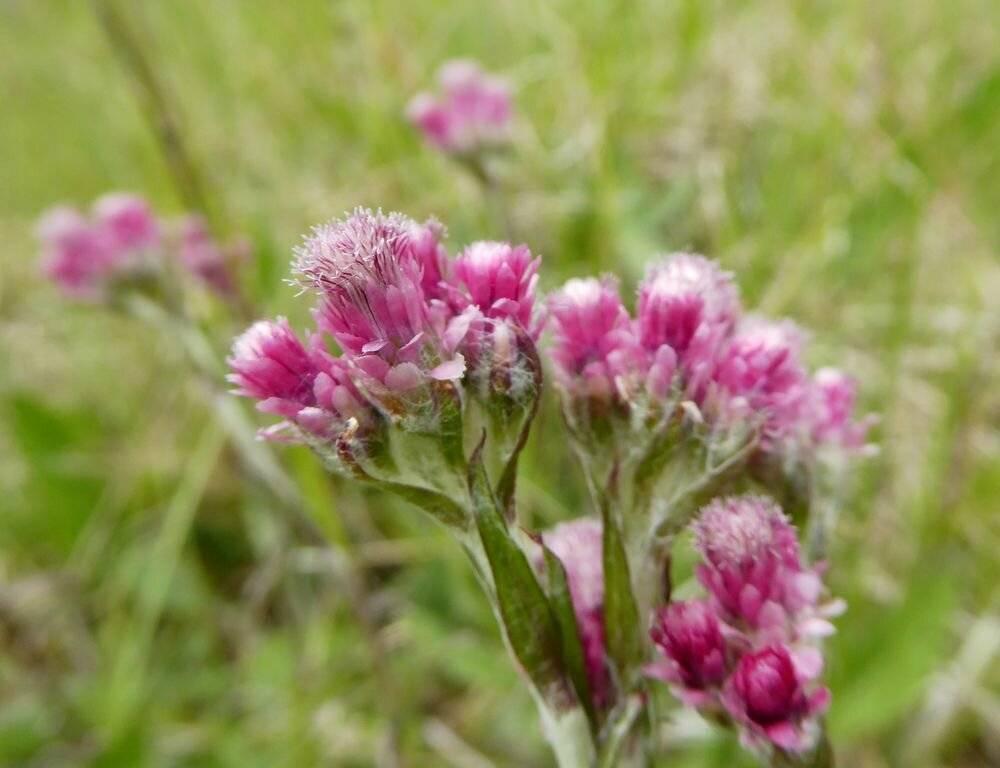 Растение кошачья лапка — от сорока болезней