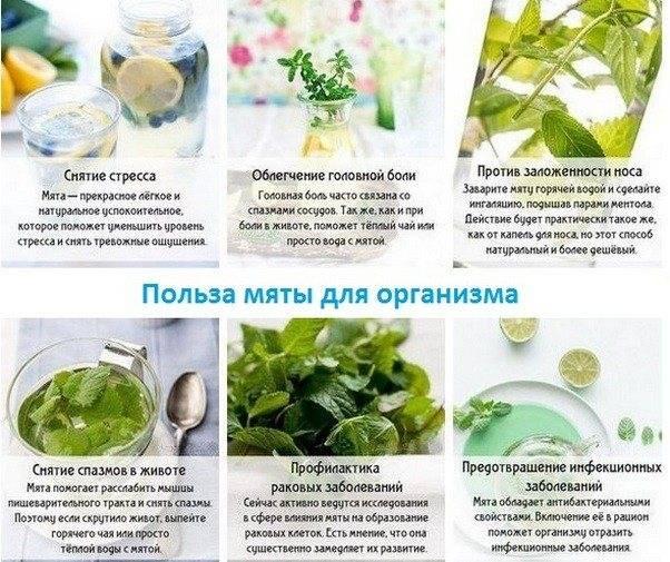 Польза и вред чая с мятой для организма человека