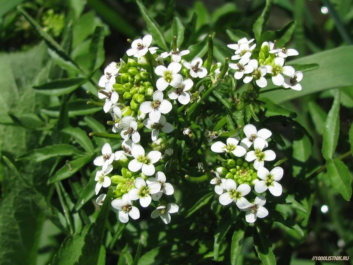 Растения иберийка: характеристика и особенности