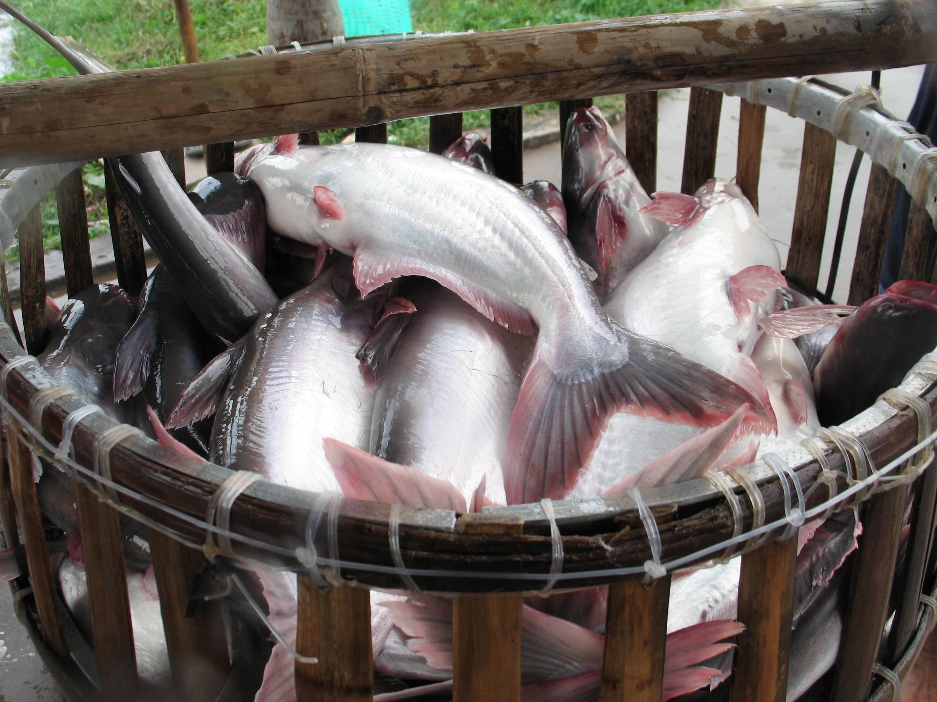 Пангасиус: что за рыба, среда обитания, польза и вред