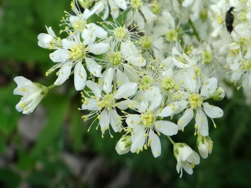 Трава таволга: полезные свойства и противопоказания
