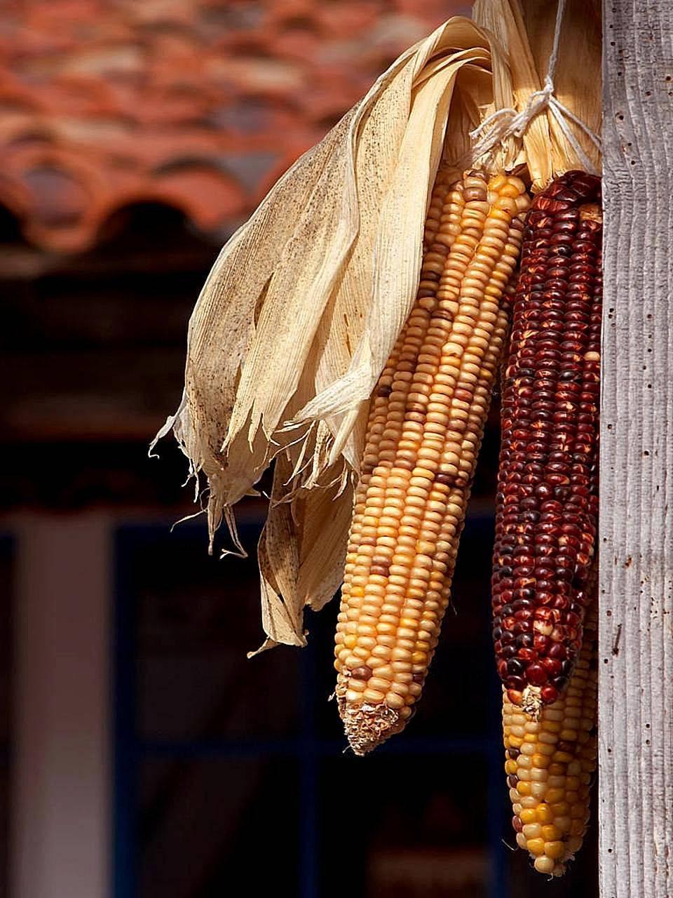 О том, как и сколько варить зрелую и переспевшую кукурузу? особенности и полезные советы