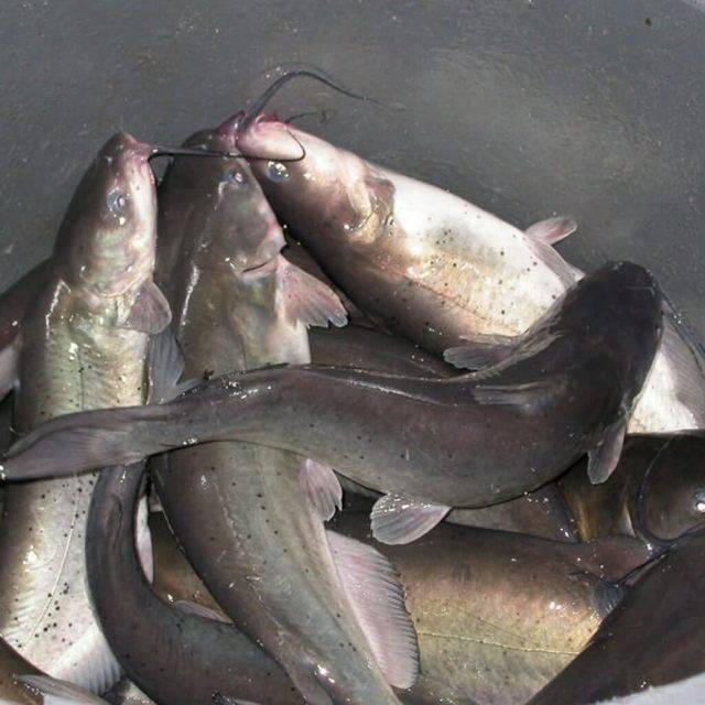 Рыба сом содержание полезных веществ, польза и вред, свойства