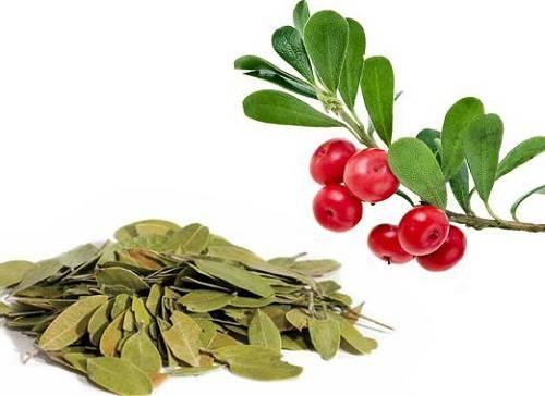 Листья брусники и их применение в медицине