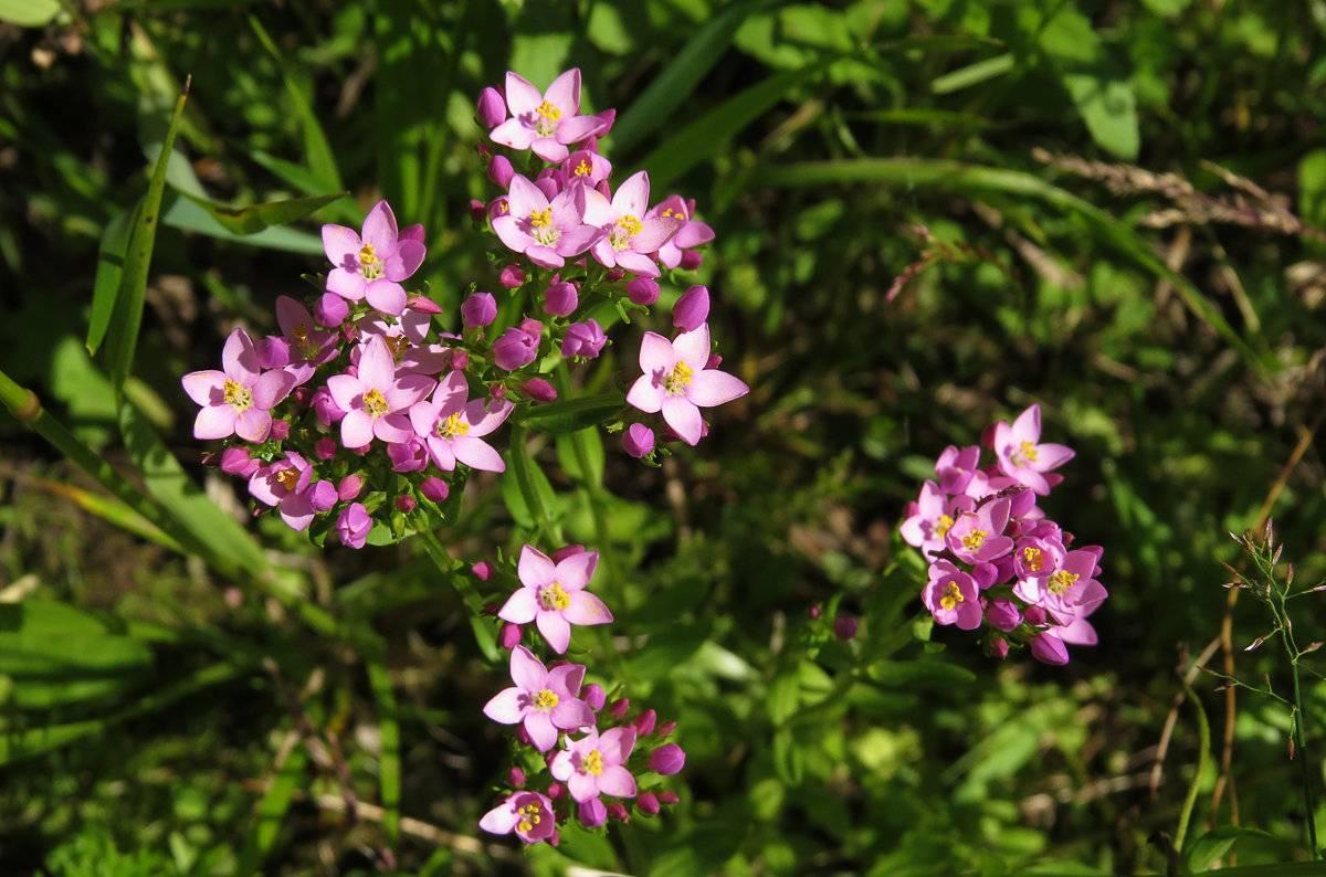 Что такое золототысячник: лечебные свойства травы для желудка и кишечника