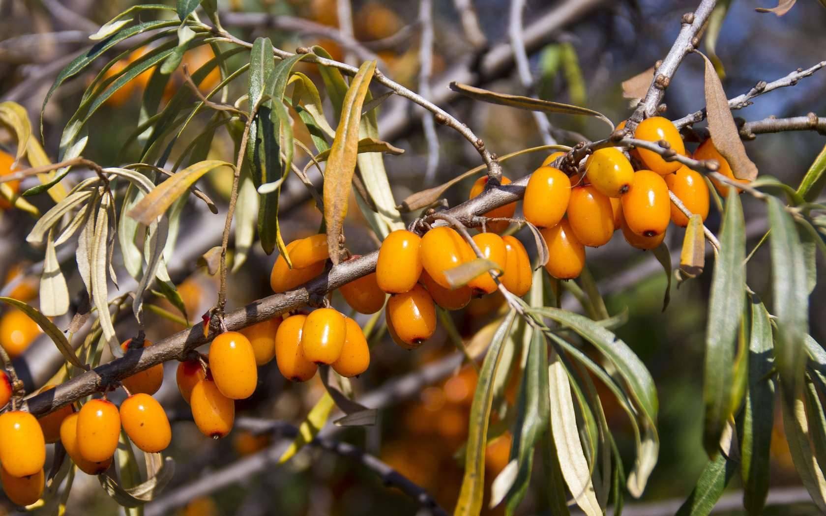 Листья облепихи: полезные свойства, противопоказания, польза и вред