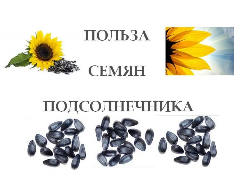 Подсолнечные семечки. польза и вред для организма. правильное хранение и употребление продукта