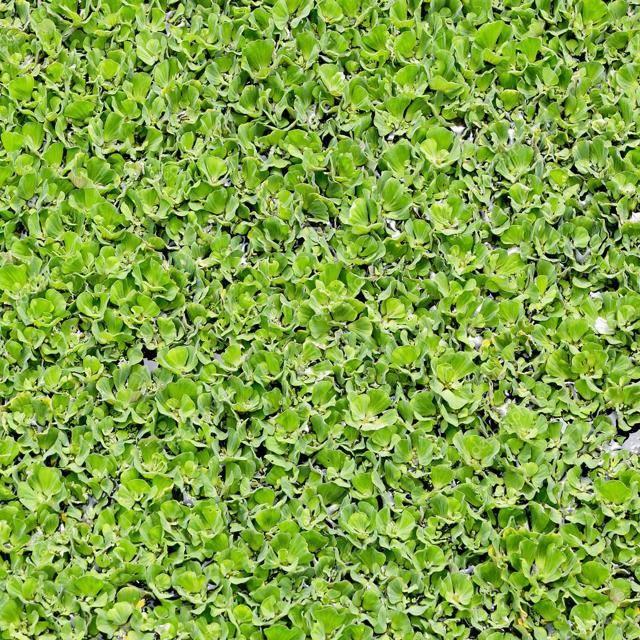 Замечательные лечебные свойства ряски малой и противопоказания